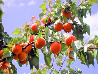 Цілющі властивості абрикоса