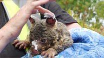 Пожежі в Австралії призвели до зникнення 100 видів тварин, що знаходяться під загрозою повного зникнення