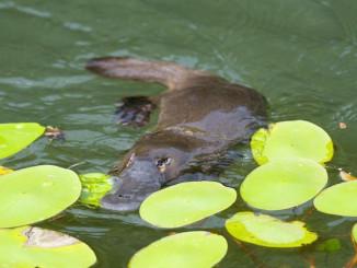 Качкодзьоби знаходяться під загрозою зникнення через руйнівну посуху в Австралії